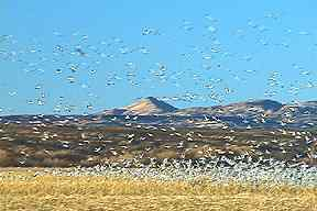 Flight of geese at Bosque del Apache